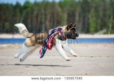 american akita dog running on the beach