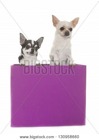 purebred chihuahuas in box in front of white background