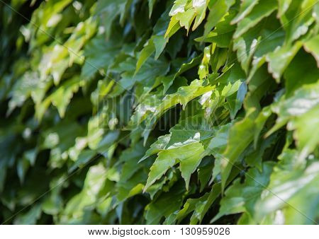 Green background of Ivy leaves, nature background