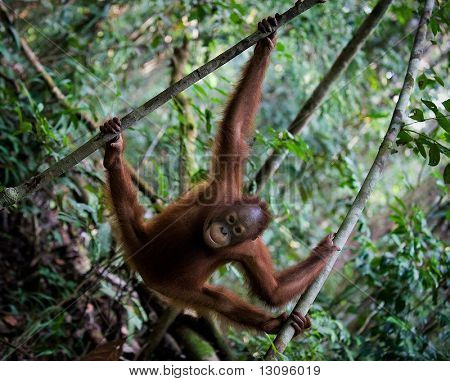 The Young Orangutan In Branches