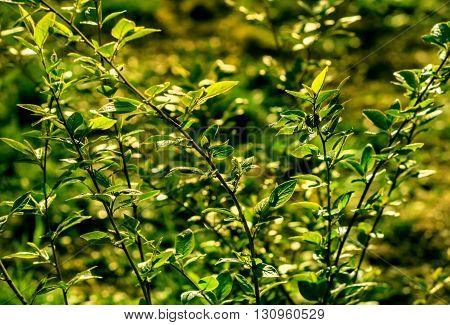 Nice spring green branches of bush at sunny day