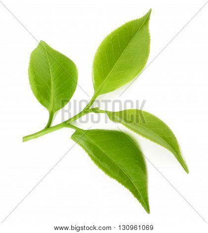 tea sprig isolated on a white background