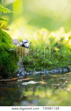 Eurasian blue tit in forest drinking water