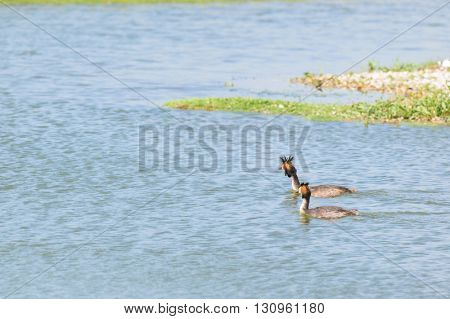 Pair Great crested Grebes swimming in water