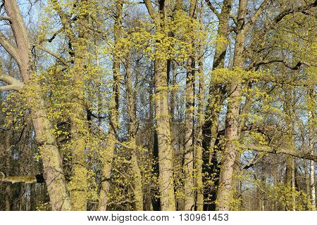 Trees with young foliage at spring sunny day.