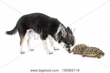 Testudo hermanni tortoise and chihuahua on a white isolated background