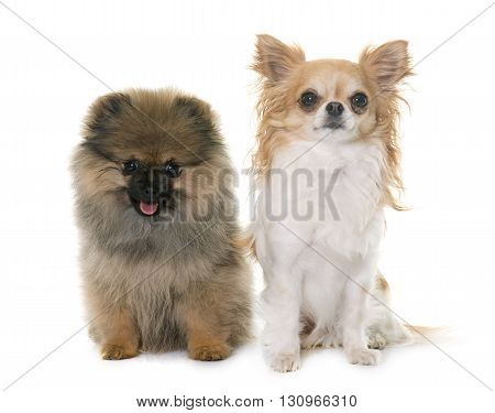 puppy pomeranian spitz and chihuahua in front of white background