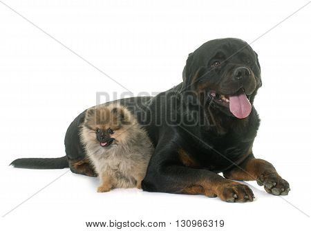 puppy pomeranian spitz and rottweiler in front of white background