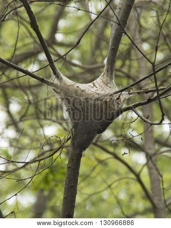 A nest of Tent Caterpillars hangs in a tree along a nature trail in Rehboath Delaware
