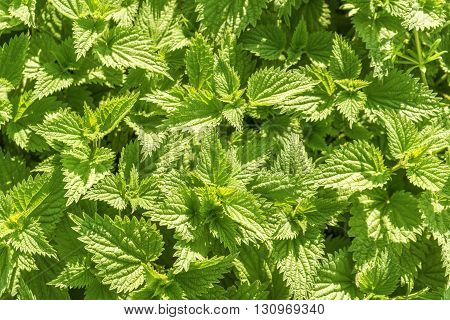 sunny illuminated stinging-nettle leaves seen from above