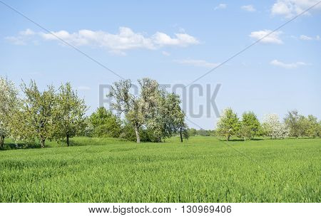 idyllic sunny scenery showing some fruit trees at spring time in Southern Germany