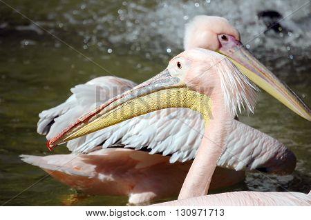 Pelicans (pelecanus Rufescens)