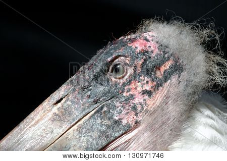 A macro shot of a specimen of marabou stork showing its typical skin disease on the head