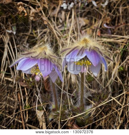 Two blossoming purple flower pasqueflower closeup in the grass