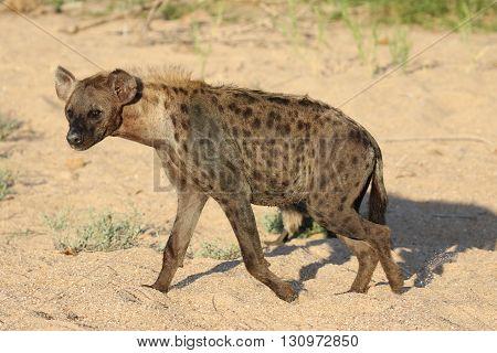 Hyena walking in dry river bed Kruger national park