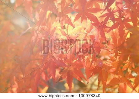 Autumn red maple light and blur for naturl background