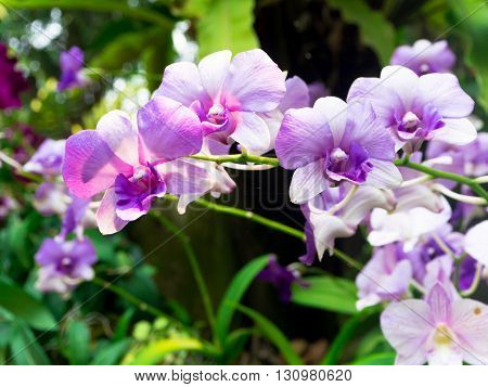 Thai beautiful orchid flower in the garden