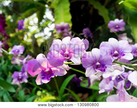Thai beautiful Orchids blooming in the garden