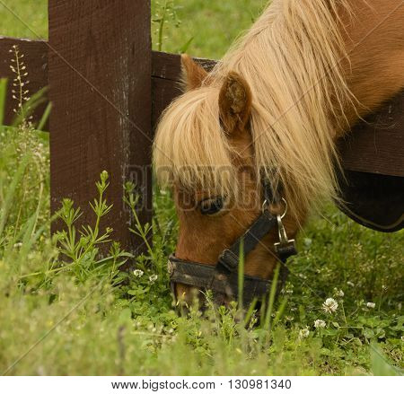 A miniature horse grazing outside of its pasture in York County Pennsylvania, USA.