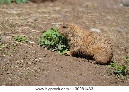 A Prairie Dog in the dirt during spring