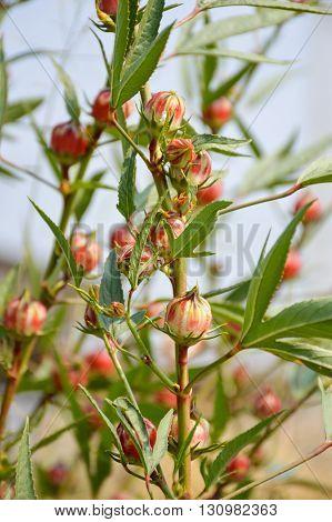 fresh red roselle flower in nature garden
