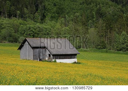 Yellow meadow full of wildflowers. Old shed and forest. Rural spring scene in Switzerland.