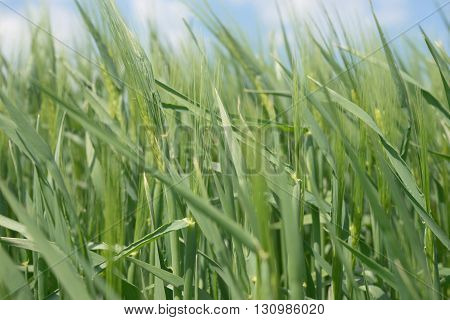 The field of green ears of barley at springtime