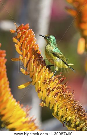Green female sunbird sitting on a yellow aloe to get nectar