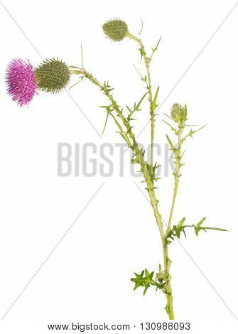 The stem thistle bud and blossoming flower isolated on white background.
