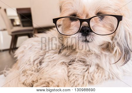 Cute Dog is wearing glasses looking straight