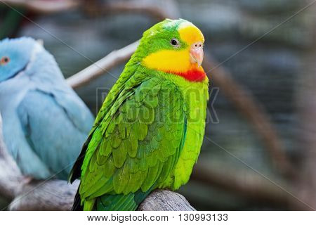 Portrait of a beautiful green yellow parrot
