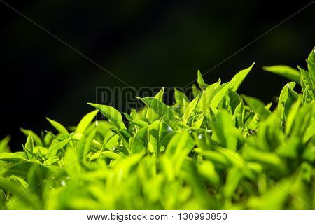 Green tea bud and fresh leaves on black background. Tea plantations in Munnar, Kerala, India