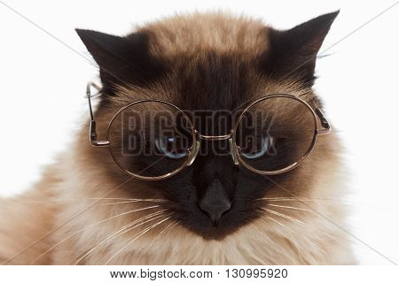 Portrait of a cute fluffy Balinese cat with glasses closeup on white background