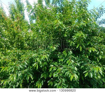 Thick, full leaf branches of young trees of cherry in spring