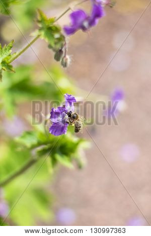 Bee on meadow cranesbill flower with soft blurred background