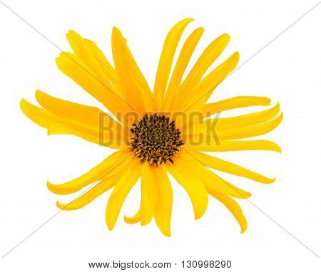 marguerite yellow flower isolated on white background