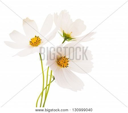 Cosmos beautiful Flowers Isolated on White Background.