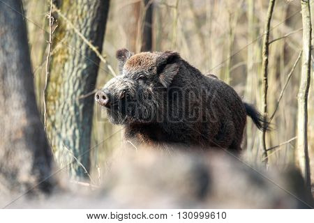 A huge wild boar in spring forest