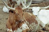 pic of feedlot  - two longhorn cattle sitting in feedlot - JPG