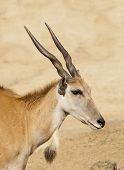 foto of eland  - young taurotragus derbianus or common Eland the largest of the African antelope - JPG