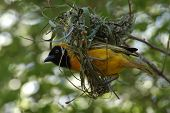 picture of bird-nest  - a weaver bird builds a typical nest in pilansburg south africa - JPG