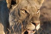 Постер, плакат: Охота львицы