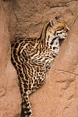 picture of ocelot  - ocelot sleeping in crevice of rock ledge - JPG