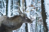 Deer in the snowy forrest. He is maybe waiting for the Santa Claus.