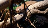image of king cobra  - A king Cobra seen through dark undergrowth - JPG