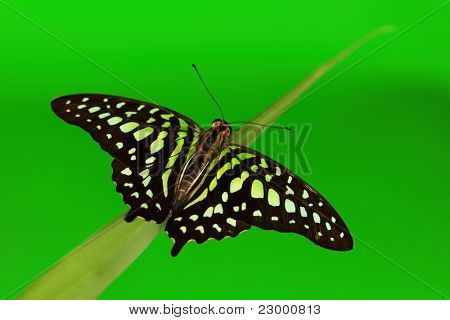 Graphium on green grass