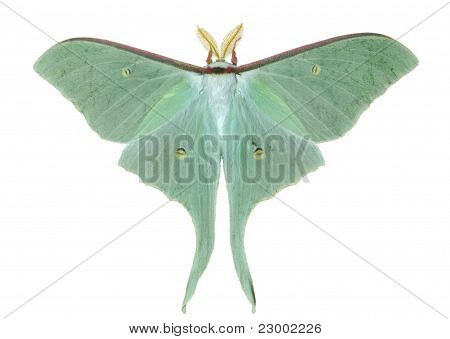 Night Butterfly (actias Artemis)