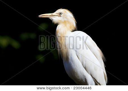 A white heron.