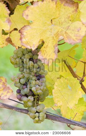 grapes (Weiser Riesling), Germany