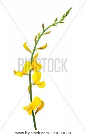 flores de Retama sobre un fondo blanco